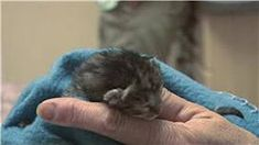Video Kitten & Cat Care : How to Treat Newborn Kittens With Fleas Buy A Kitten, Cute Kitten Gif, Kittens Cutest, Baby Kittens For Sale, Cats And Kittens, Tiny Baby Animals, Kitten Names, Dog Smells, Newborn Kittens