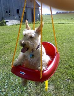 My Grand-dog Madeleine in her favorite swing <--- can't believe she's doing that! Mine would freak out!!