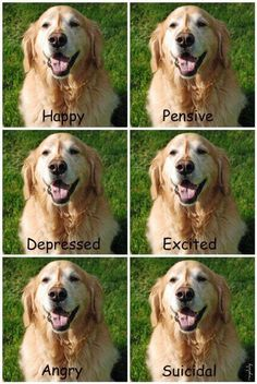 the many moods of a Golden Retriever :)