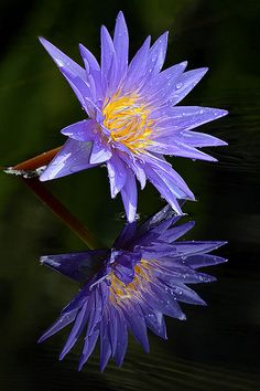 Exotic Flowers, Tropical Flowers, Summer Flowers, Amazing Flowers, Purple Flowers, Beautiful Flowers, Lotus Flower Pictures, Flower Images, Water Flowers