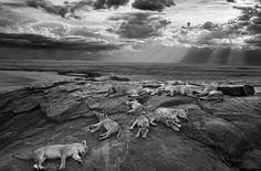 Wildlife photo of the year - Michael 'Nick' Nichols