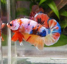 500 Gambar Candy Nemo Emerald Terbaik Di 2020 Ikan Cupang Ikan Ikan Eksotis