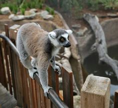 Make the NEW Lemur Island exhibit at Melbourne Zoo your next school holidays stop!   Discover what it's like to be a lemur as you walk and play amongst these charismatic animals. Enter the exhibit through a rainforest tunnel then head up along a boardwalk toward the 'tree house'.  Remember, kids are FREE every weekend, Victorian Government school holidays and public holidays!   For more information visit www.zoo.org.au/holidays