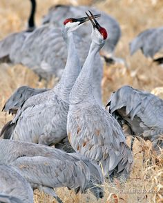 Two sandhill cranes (Grus canadensis) vocalize among a gathering of thousands of birds at the Bosque del Apache National Wildlife Refuge, New Mexico