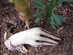 "Clathrus Archeri or ""Devil's Fingers""--strange that it's a mushroom….perfect for a halloween garden"