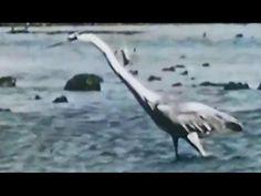 "Loon, Heron, Osprey, Kingfisher: ""Birds That Eat Fish"" 1952 Intl Film Bureau https://www.youtube.com/watch?v=v6Z-n3Gbu4c #birds #ornithology #wildlife"