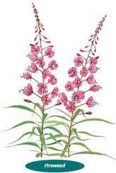 magenta purple fireweed yukon - Google Search