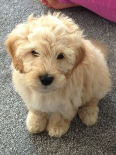 12 Reasons Why You Should Never Own Labradoodles