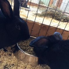 Meet Steele and Bonanza, an adoptable Bunny Rabbit looking for a forever home. If you're looking for a new pet to adopt or want information on how to get involved with adoptable pets, Petfinder.com is a great resource.