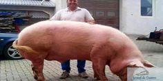"""loading... Povestea lui Giorgio, porcul de jumătate de tonă care este tratat ca un rege și bea zer în loc de apă Giorgio. Așa îl strigă Vasile Coraciuc pe porcul care a strâns deja sute de like-uri pe Facebook, multă lume întrebându-se dacă imaginea în care crescătorul apare cu """"uriașul"""" nu este trucată. Giorgio. Așa ..."""
