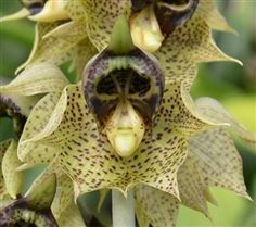 Catasetum sanguineum - Native to Colombia and Venezuela.