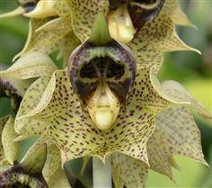 Espécie Catasetum sanguineum patrick de orquídeas - SeattleOrchid.com. Native para a Colômbia e Venezuela.