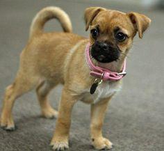 ... Mix on Pinterest | Chug Dog, Chihuahua Mix and Boston Terrier Pug