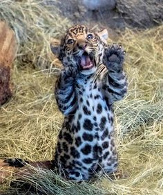 Jaguar Cub is a handful . and mouthful - all about animals - pic pictures - we for pictures - Jaguar Cub is a handful … and mouthful – All About Animals – - Cute Funny Animals, Cute Baby Animals, Cute Cats, Adorable Kittens, Zoo Animals, Animals And Pets, Wild Animals, Beautiful Cats, Animals Beautiful