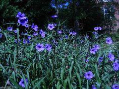 Mexican petunias Seed- Ruellia brittoniana 'Blue Star' 30 Seeds!