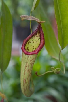 The pitcher is a trap that contains a fluid of the plant's own production, which may be watery or syrupy, and is used to drown the prey.  Once the prey crawls in, it rarely escapes.