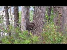 A raccoon climbing a tree in the forest Racoon, Canada Travel, Climbing, Plants, Rock Climbing, Mountaineering, Plant, Planting, Planets
