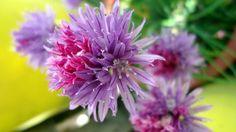 Flores de ciboullete