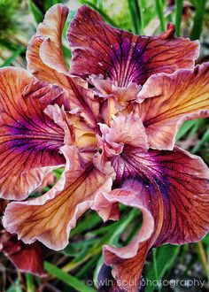 Petal Veins  Flower Floral Iris Orchid by twinsoulphotography, $18.00