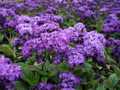 EN JUILLET : Héliotrope C'est une plante qui gèle lorsque le thermomètre descend sous les -4° et devra donc être cultivée en pot, comme les géraniums, pour être mis à l'abri en hiver.