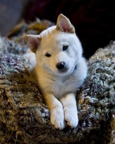 Beige, this is a shiba inu puppy. Doesn't it look like Suze? Maybe I could start a section on Louder and Funnier called 'things that look like suze'. Baby Dogs, Pet Dogs, Dog Cat, Baby Animals, Funny Animals, Cute Animals, Beautiful Dogs, Animals Beautiful, Chien Shiba Inu