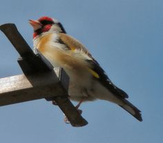 This beautiful goldfinch eluded me frequently. I heard beautiful singing and finally caught it on my neighbour's aerial.