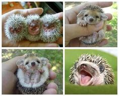 Aren't they so cute  ....    Baby Hedgehogs.
