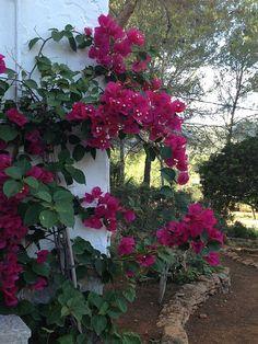 Location vacances maison Sant Carles de Peralta: Bougainvillée à l'entrée de la maison