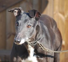 River is 8 years old.  She is a lovely natured little girl. She can be bit wary of strangers, but after the initial first greeting she soon comes around. She is best descibed as a 'complete poppet'.