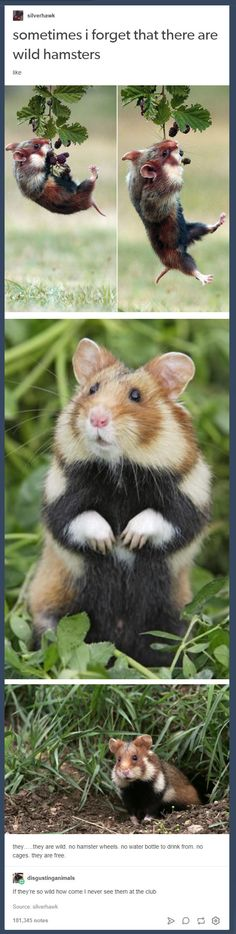 Sadly I'm not at a place in my life that I can get my own hamster to share with y'all but I think you might enjoy my favorite tumblr post.http://ift.tt/2HfwNLt
