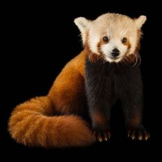 photo by @joelsartore | A red panda at the @LincolnChildrensZoo the birthplace of the #PhotoArk. The zoo has had great success in breeding this imperiled species over the years fighting back against their decreasing numbers.A crew from the @CBSSundayMorning show was with me when I took this photo. They're doing a November piece on the Ark so please tune in! #Follow me @joelsartore to learn more about species at risk of #extinction. #joelsartore #photooftheday #panda