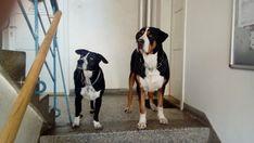 Big Dogs, Anton, Animals, Animales, Animaux, Large Dogs, Animal, Animais