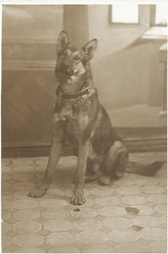 c,1910s sepia portrait of a German Shepherd Dog. From bendale collection