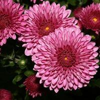 Indian Chrysanthemum