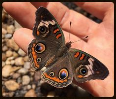 Common Buckeye - Commonly seen in the Tallahassee area.