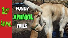 #funny #animals #petsTRY NOT TO LAUGH - Cute 💯💯Funny Animal Videos! best... Funny Animal Videos, Cute Funny Animals, Funny Fails, Horses, Funny Vidos, America Funny, Dog Videos, Funny Pets