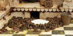 Diva Dea Weag / È Karni Mata, l'unico tempio al mondo dedicato ai ratti. ''Deshnok,il Karni Mata,il tempio è messo sulla mappa per Deshnok,una cittadina di poco meno 25.000 abitanti situato a 475 chilometri da Delhi,è diverso dal resto.Apprensione da una mancanza di igiene,eccitazione e curiosità,sono riluttanti a piantare i piedi nudi in un tempio non essatamente pulito,che adora inquieti circa 20.000 ratti.