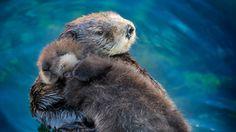sea-otter-mom-pup.jpg (640×360)