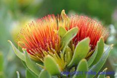 222-2230_img_adj_red_leucospermum_oleifolium__tufted_pincushion_.jpg (750×500)