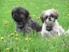 Kim to GLORY RIDGE SHIH TZU May 25, 2015  ·   Frannie is on the right; Jazzy girl born Oct. 30, 2014 at Glory Ridge Shih tzu