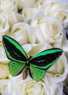 Green butterfly with white roses - by Garry Gay
