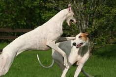 Get to Know the Greyhound: Speeding Couch Potato