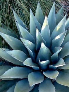 Parry's Agave Water Wise, Agaves, Beautiful Landscapes, Landscape Design, Succulents, Yard, Plants, Photography, Garten