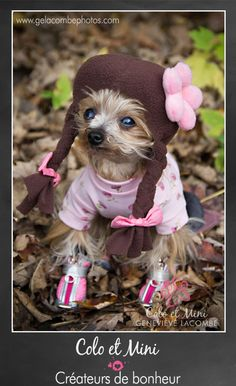 Little Yorkie dressed up as a school girl for Halloween ****(Yorkshire Terrier)