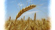 Pšenice nejvyšší kvality