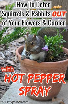 How To Deter Squirrels and Rabbits From Your Flowers, Flowerbeds and Garden by using Hot Pepper Spray - recipe included! Rabbit Deterrent, Squirrel Repellant, Rabbit Repellent, Insect Repellent, Diy Pepper Spray, Container Plants, Container Gardening, Get Rid Of Squirrels, Deer Resistant Garden