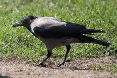 Cornacchia-grigia-img_0197 (2).jpg - CORNACCHIA GRIGIA - Hooded Crow - Corvus corone cornix - Luogo: Q.re Missaglia (MI) - Autore: Claudia
