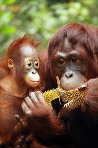 Orangutans, Sumatra, Indonesia #endangered