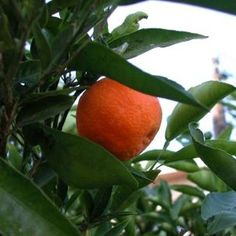 How to Start a Tangerine Tree From a Seed.one of my BFFs has a very old tree that produces the sweetest tangerines ever. It is going to be worth the effort to grow another one just like it. Satsuma Tree, Satsuma Orange, Citrus Trees, Fruit Trees, Trees To Plant, Orange Trees, Citrus Fruits, Orange Fruit, Tree Seeds
