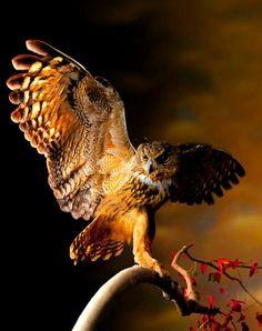 Wings Spread-Owl